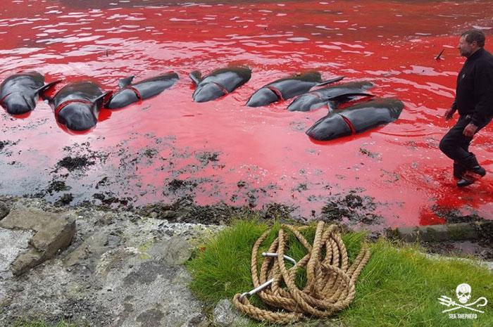 Sea Shepherd continua a combattere contro la Grind