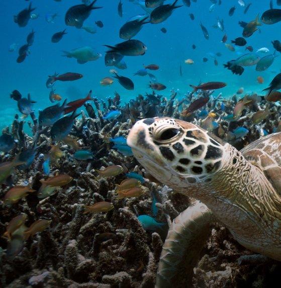 Egy óceáni teknős látható a víz alatti környezetben