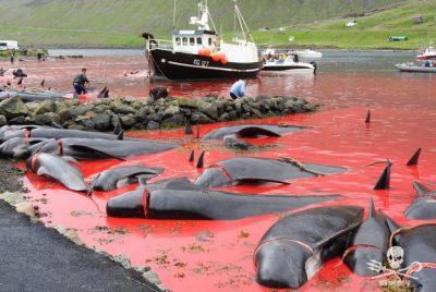 Operazione Bloody Fjords nelle Isole Faroe.