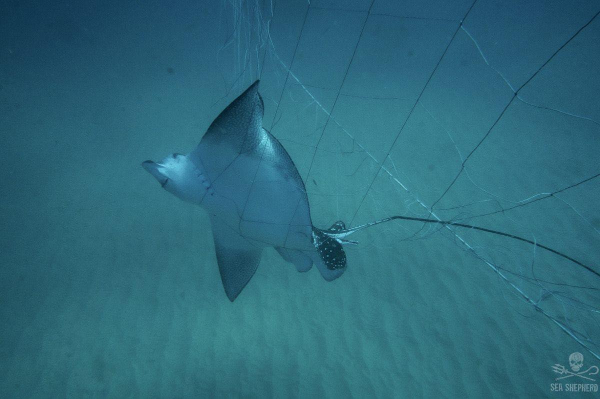 Aquile di mare lasciate a morire in reti antisqualo nello stato del Nuovo Galles del Sud
