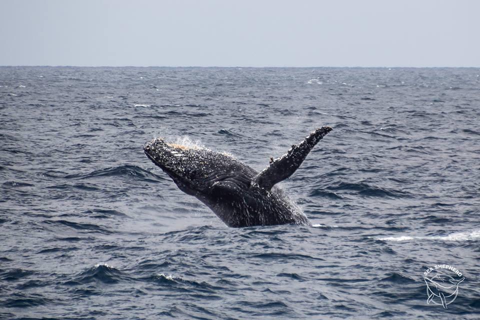 Megattera. Foto: Alejandra Gimeno/Sea Shepherd