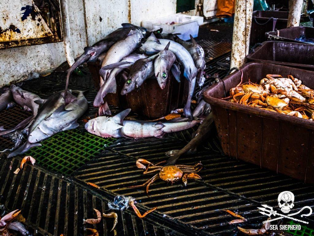 Carcasse di squalo e granchi sul ponte della Labiko 2.Foto: Melissa Romao / Sea Shepherd