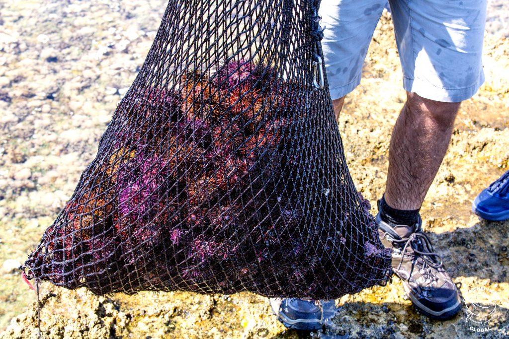 Liberati altri 500 ricci di mare nel Plemmirio