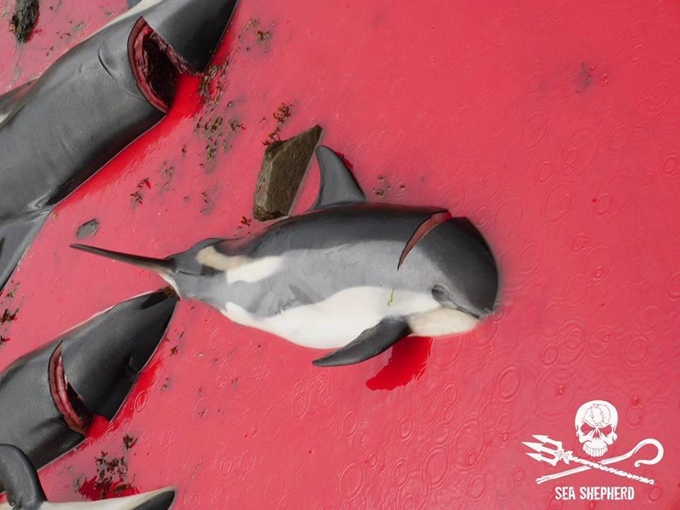 Grindadráp alle Isole Faroe: Massacrati più di 190 delfini e globicefali