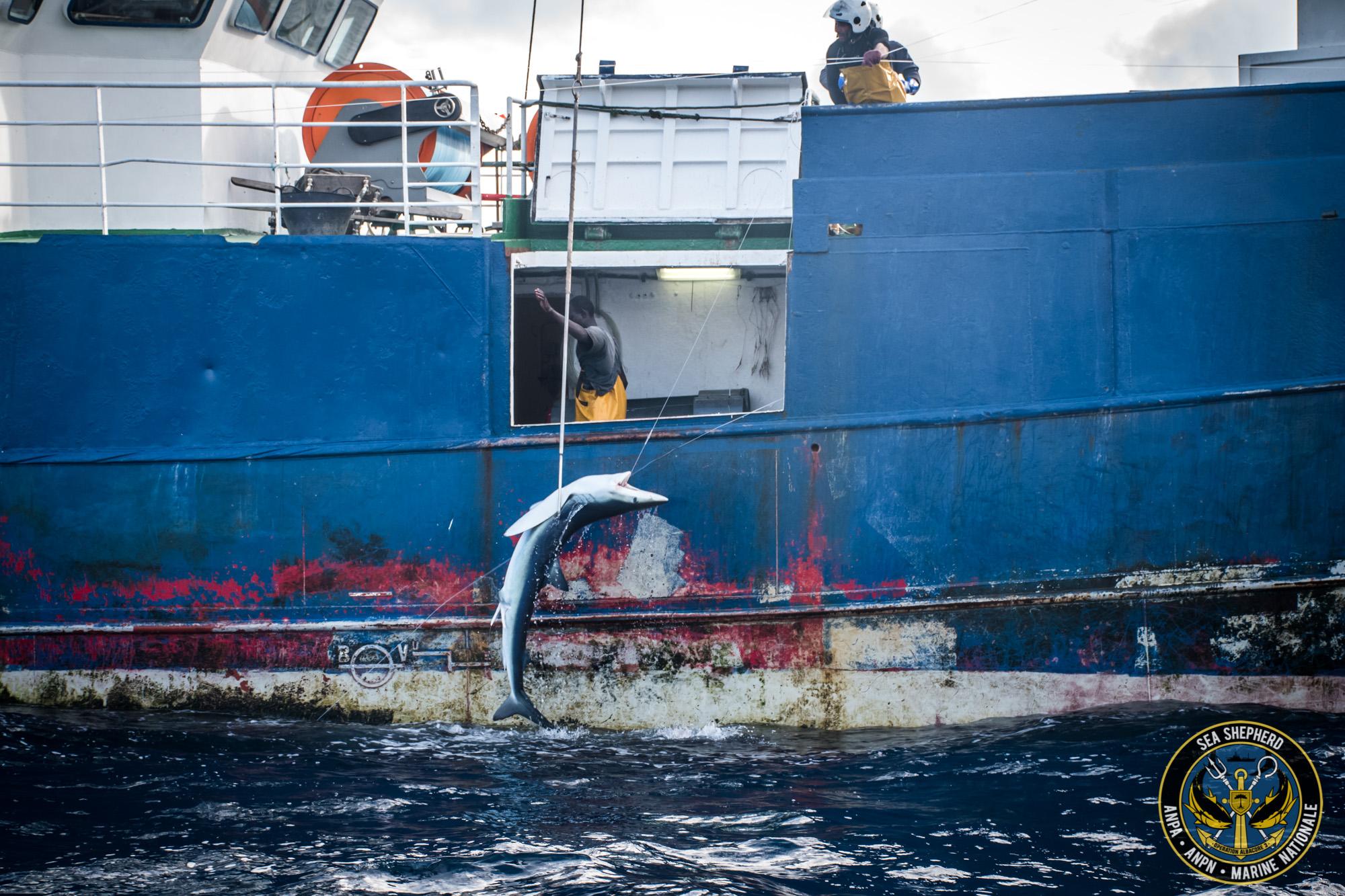 La Vema pesca squali