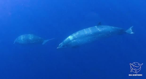 balene nuova specie